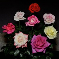 Tenarky Rose Show & Competition