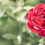 Start Your Engines: Spring Essentials for Growing Healthy Roses with the Nashville Rose Society
