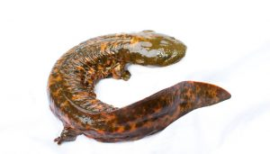 The Southeastern Hellbender Conservation Initiativ...